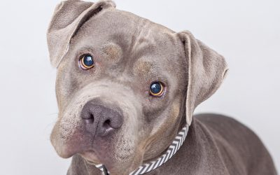Roxy, a sweet pit bull terrier, was abandoned at a shelter in Los Angeles before she was paired with then 13-year-old Joey Granados, a teen with Asperger's syndrome. It was love at first sight!
